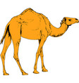 camel drawn in ink by hand in full growth vector image