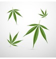 Medical Cannabis Leaves Isolated on White vector image