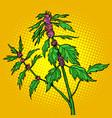 motherwort medicinal plant vector image