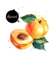 Hand drawn watercolor painting apricot on white vector image vector image