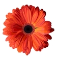 Orange gerbera vector image vector image