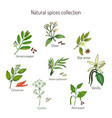 natural spices collection vector image