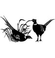 bird pheasant vector image vector image