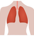 human lungs location vector image