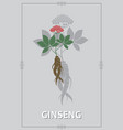 ginseng root banner vector image