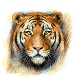 tiger sketchy colorful hand-drawn portrait vector image vector image