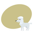 cute well groomed purebred white poodle dog vector image