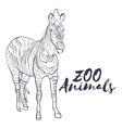 Hand drawn isolated sketch zebra Zoo animal vector image