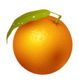 ripe orange fruits 3d citrus sweet food realistic vector image