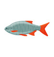 roachfish freshwater fish fresh aquatic fish vector image vector image