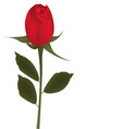 single red rose on white background vector image