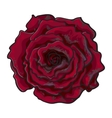 Deep red ruby rose top view isolated sketch vector image vector image