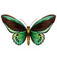 Common green birdwing vector image vector image