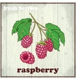 Hand drawing of raspberry Fresh vector image vector image
