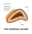 The adrenal gland medical scheme vector image