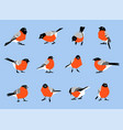 bullfinches isolated on white background vector image vector image