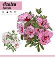 exotic plant azalea isolated on white background vector image vector image