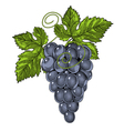 Red wine grapes in vintage engraved style vector image vector image