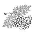 rowan branch vector image