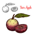 star apple or cainito tropical fruit sketch vector image vector image