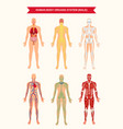 male body organ systems poster vector image
