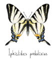 Butterfly Iphiclides Podalirius vector image vector image