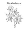 christmas rose helleborus niger evergreen plant vector image vector image