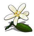 single flower lemon tree isolated on a white vector image