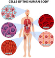cells human body vector image vector image
