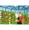 farmer harvesting tomatoes vector image vector image