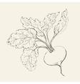 Beet root vector image vector image