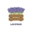 bouquet lavender in a wooden planter vector image
