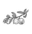 psidium guava sketch vector image