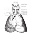 thymus gland vintage vector image vector image