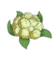 Cauliflower isolated on white vector image vector image
