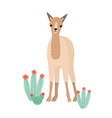 lovely llama cria or alpaca isolated on white vector image vector image