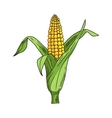 Corncob with leaf on white background vector image