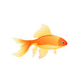 golden fish isolated on white background poster vector image