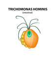 trichomonas intestinal trichomoniasis urogenital vector image vector image
