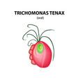 oral trichomonas trichomoniasis urogenital vector image vector image