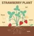 strawberry plant vector image vector image
