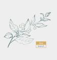 tea branch sketch vector image