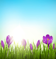 Green grass lawn with violet crocuses and sunrise vector image vector image