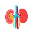 healthy kidneys vector image