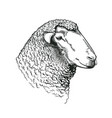 head of ram of dohne merino breed drawn in vintage vector image vector image
