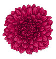 beautiful pink dahlia isolated on white background vector image vector image