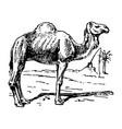 vintage engraving a camel vector image vector image