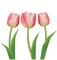 tulips flowers on white background vector image vector image