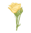 beautiful yellow rose isolated on white background vector image vector image