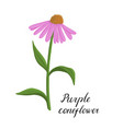 drawing flower of echinacea vector image vector image